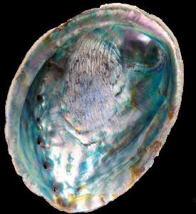 Een Zee-oor (Haliotis sp.)