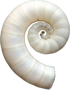 Spirula spirula, a small squid
