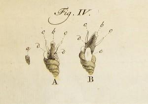 Basters drijfslak, zoals afgebeeld door Baster.