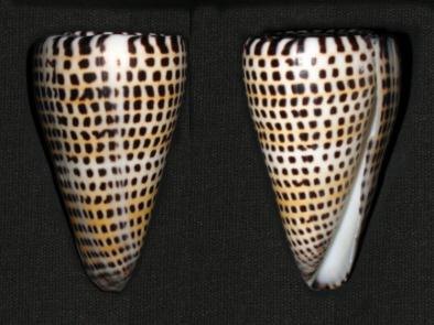Ook in de molluskenwereld is sprake van vormen van geletterdheid: Conus litteratus.
