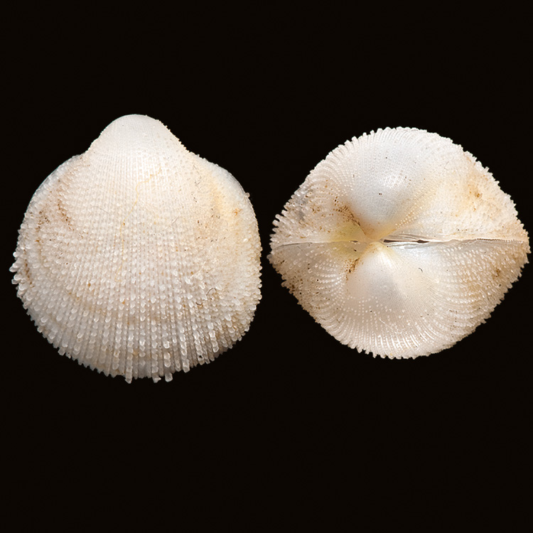 Fri.sancticaroli 3197 Holotype