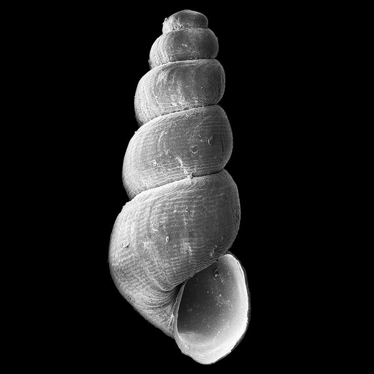 Murchisonella angolensis holotype