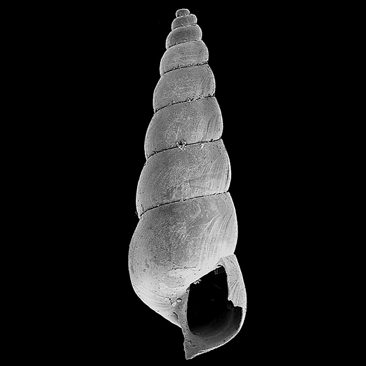 Murchisonella modestissima holotype