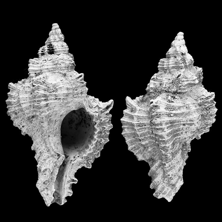 hexaplex-trunculariopsis-ledoni